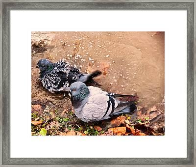 Pigeons Bathing Framed Print by Chris Flees