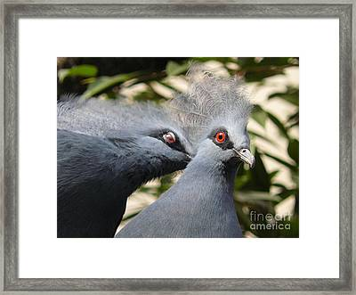 Pigeons Framed Print by Jane Ford