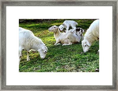 Piggy Back Lamb Framed Print by Thomas R Fletcher