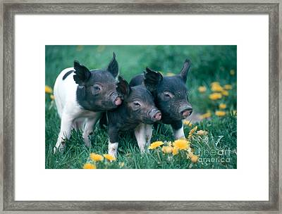 Piglets Framed Print by Alan and Sandy Carey