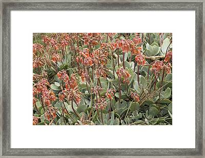 Pig's Ear (cotyledon Orbiculata) Framed Print by Bob Gibbons