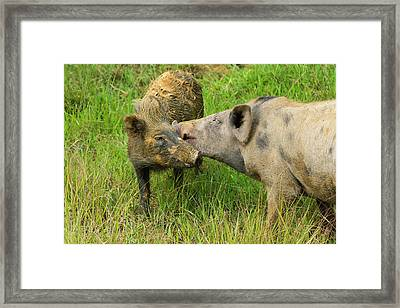 Pigs In The Village, Wamena, Papua Framed Print by Keren Su