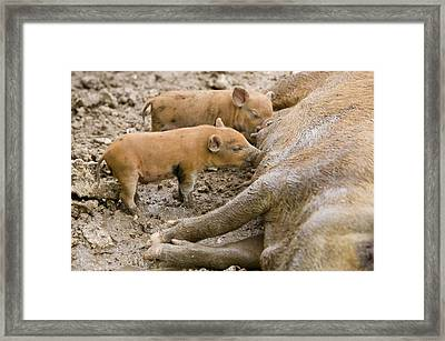 Pigs Reared For Pork On Tuvalu Framed Print by Ashley Cooper