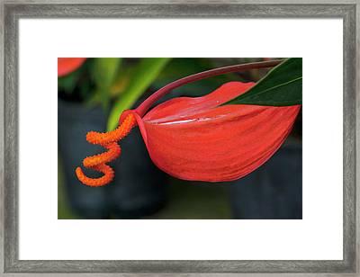 Pigtail Anthurium, Kula Botanical Framed Print