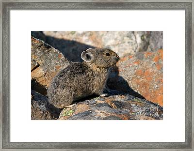 Framed Print featuring the photograph Pika And Lichen by Chris Scroggins
