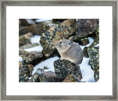 Pika In The Park Framed Print by Yeates Photography