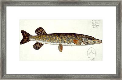 Pike Framed Print by Andreas Ludwig Kruger