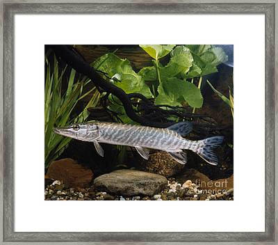 Pike Esox Lucius Framed Print