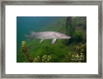 Pike In Lake Framed Print