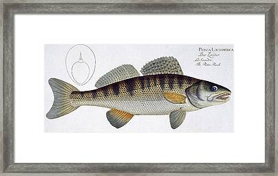 Pike Perch Framed Print by Andreas Ludwig Kruger