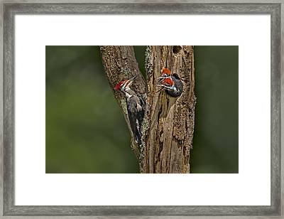 Pilated Woodpecker Family Framed Print
