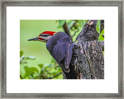 Pileated Stare Framed Print