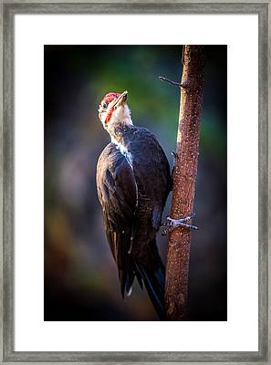 Pileated Wood Pecker Framed Print