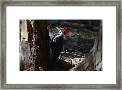 Pileated Woodpecker Framed Print by James Petersen