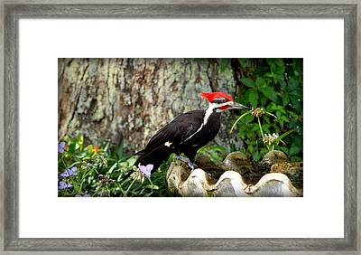 Pileated Woodpecker Framed Print by Lynn Griffin