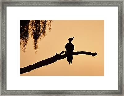 Piliated Woodpecker (dryocopus Pileatus Framed Print