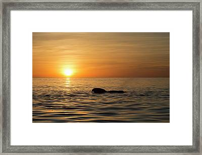 Pilot Whale At Dawn Framed Print by Christopher Swann