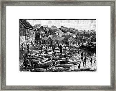 Pilot Whale Hunt Framed Print by Science Photo Library