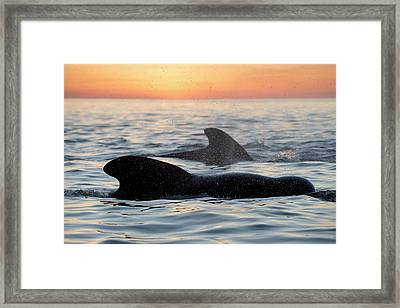 Pilot Whales At Dawn Framed Print by Christopher Swann