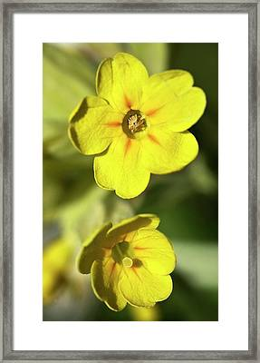 Pin And Thrum Eyed Primula Darwin Framed Print by Paul D Stewart