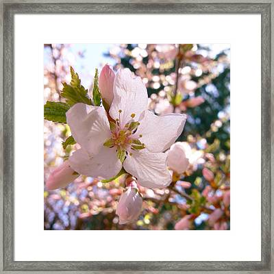 Pin Cherry Blooms Framed Print