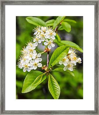 Pin Cherry Blossoms Framed Print by Susan Crossman Buscho