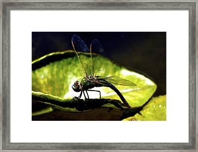 Pinao The Hawaiian Dragonfly Framed Print