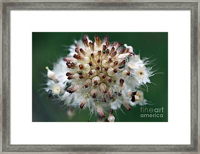 Pincushion Daisy Going To Seed Framed Print