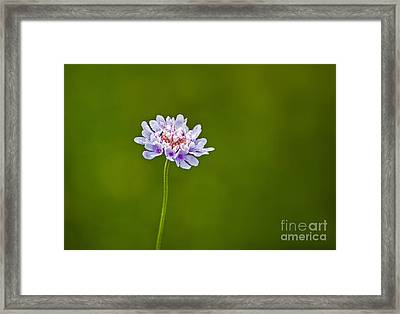 Dwarf Pincushion Flower Framed Print by Bel Menpes