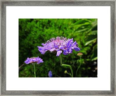 Pincushion Flowers Framed Print by MTBobbins Photography