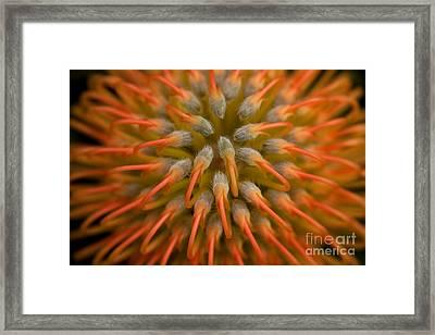 Pincushion Protea Framed Print by Julia Hiebaum