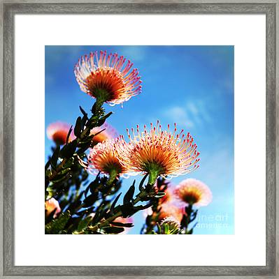 Pincushion Proteas Framed Print by Neil Overy