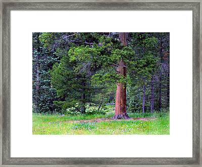 Pine At Rocky Mountain National Framed Print