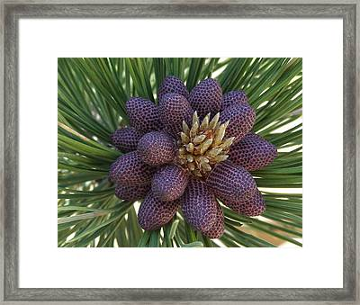 Pine Birth  Framed Print