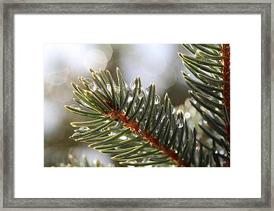 Pine Bough Dewdrops Framed Print