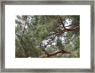 Pine Branches Framed Print by Evgeny Pisarev