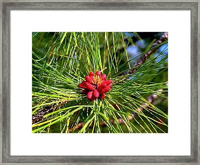 Pine Bud Framed Print