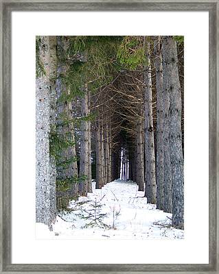 Pine Cathedral Framed Print by William Tasker