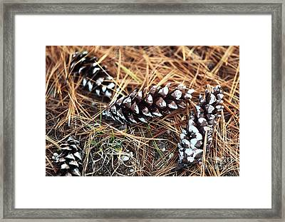 Pine Combs Framed Print by John Rizzuto