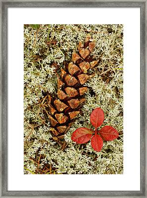 Pine Cone And Blueberry Foliage Among Framed Print