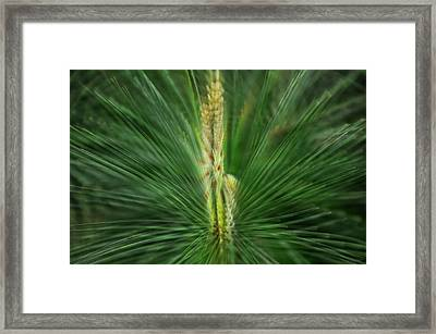 Pine Cone And Needles Framed Print