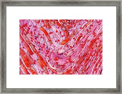 Pine Cone Tissue Framed Print