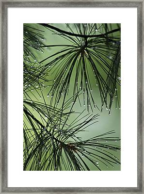 Pine Droplets Framed Print