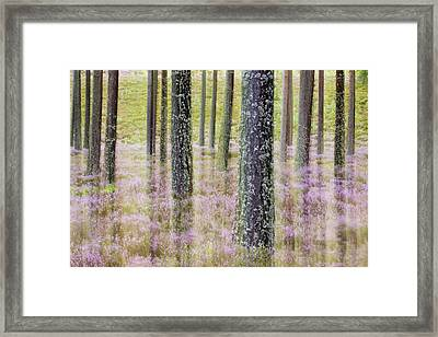 Pine Forest And Heather Cairngorms Np Framed Print by Sebastian Kennerknecht