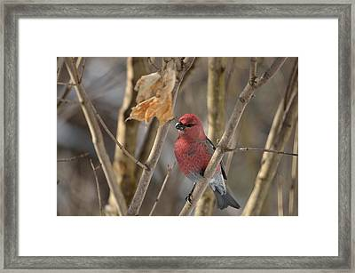 Framed Print featuring the photograph Pine Grosbeak by David Porteus