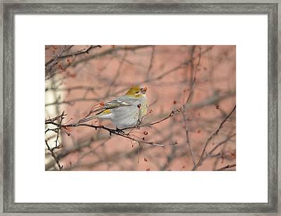 Framed Print featuring the photograph Pine Grosbeak by James Petersen