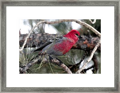 Pine Grosbeak On Ponderosa Pine Tree Framed Print