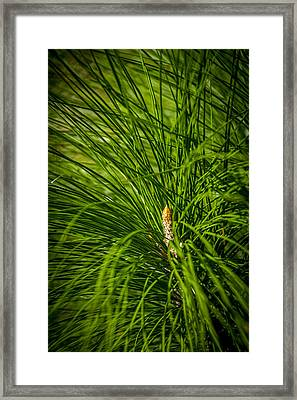Pine Needles Framed Print by Marvin Spates