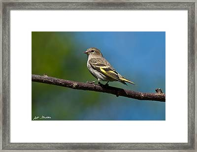 Pine Siskin Perched On A Branch Framed Print