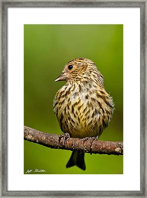 Pine Siskin With Yellow Coloration Framed Print
